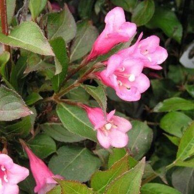 Minuet Weigela Garden Plant