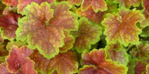 Miracle Coral Bells Garden Plant