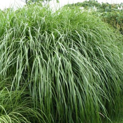 Miscanthus Morning Light Grass Garden Plant