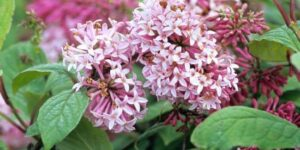 Miss Canada Lilac Garden Plant