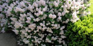 Miss Kim Lilac Garden Plant