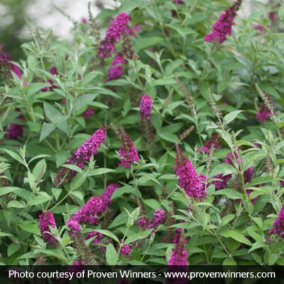 Miss Molly Butterfly Bush Garden Plant