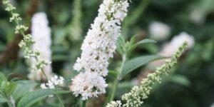Miss Pearl Butterfly Bush Garden Plant