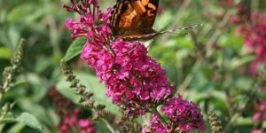 Miss Ruby Butterfly Bush Garden Plant