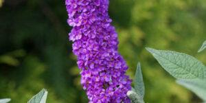 Miss Violet Butterfly Bush Garden Plant