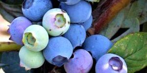 Misty Blueberry Garden Plant
