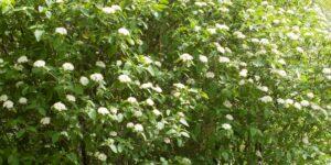 Mohican Viburnum Garden Plant