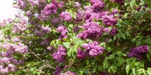 Monge Lilac Garden Plant