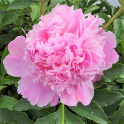 Monsieur Jules Elie Peony Garden Plant