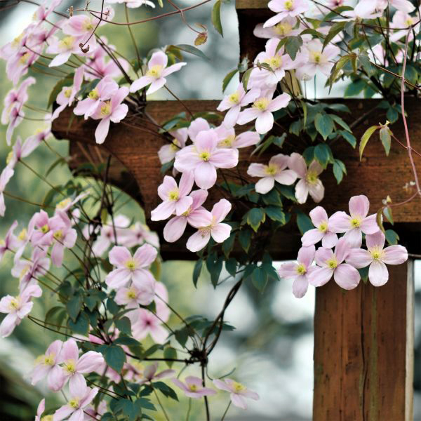 Montana Mayleen Clematis Garden Plant