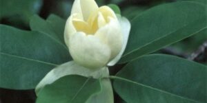 Moonglow Sweet Bay Magnolia Garden Plant