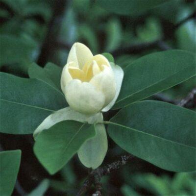 Moonglow Sweet Bay Magnolia Garden Plant