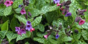 Mrs. Moon Lungwort Garden Plant