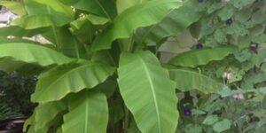 Musa Basjoo Banana Tree Garden Plant
