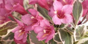My Monet Weigela Garden Plant
