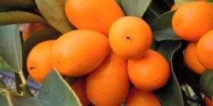 Nagami Kumquat Garden Plant