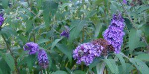 Nanho Blue Butterfly Bush Garden Plant