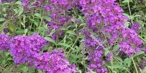 Nanho Purple Butterfly Bush Garden Plant