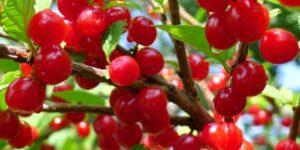 Nanking Cherry Garden Plant