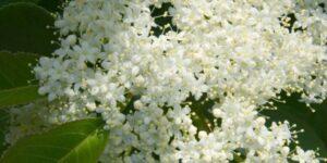Nannyberry Viburnum Garden Plant