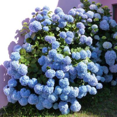 Nantucket Blue Hydrangea Garden Plant