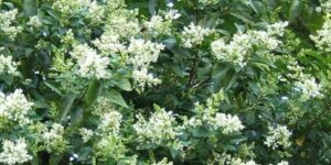 Nantucket Privet Garden Plant