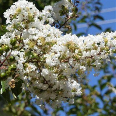 Natchez Crape Myrtle Garden Plant