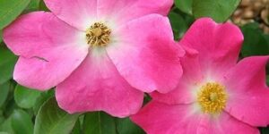 Nearly Wild Rose Garden Plant
