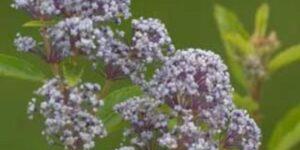 New Jersey Tea Garden Plant
