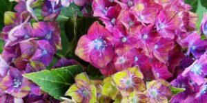 Next Generation Pistachio Hydrangea Garden Plant