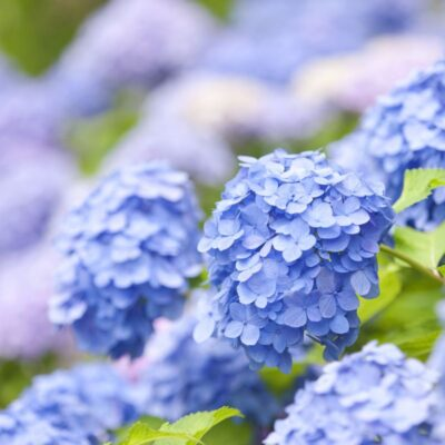 Nikko Blue Hydrangea Garden Plant