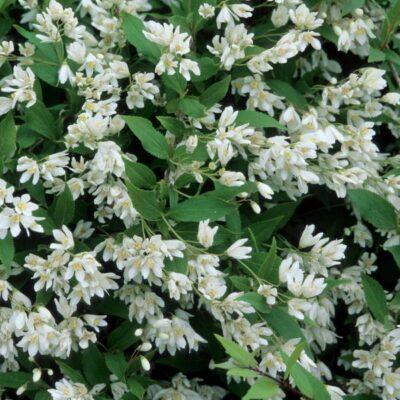 Nikko Slender Deutzia Garden Plant