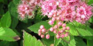 Norman Spirea Garden Plant
