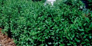 North Privet Hedge Garden Plant