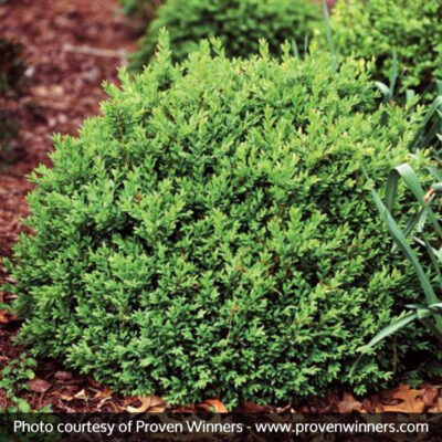 North Star Boxwood Garden Plant