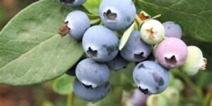 Northcountry Blueberry Garden Plant