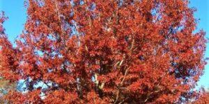 Northern Red Oak Garden Plant