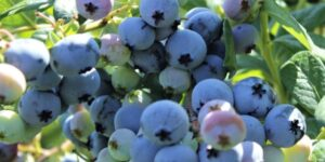 Northsky Blueberry Garden Plant
