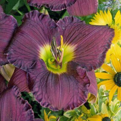 Nosferatu Daylily Garden Plant