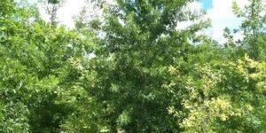 Nuttall Oak Garden Plant