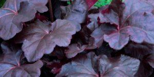 Obsidian Coral Bells Garden Plant