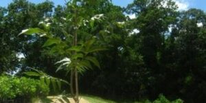 Oconee Pecan Garden Plant