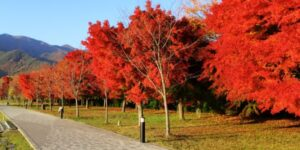 October Glory Red Maple Tree Garden Plant