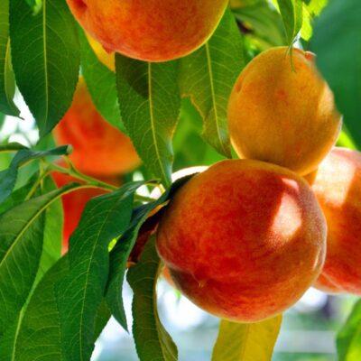 O'Henry Peach Tree Garden Plant