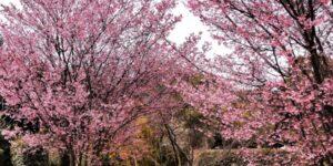 Okame Cherry Tree Garden Plant