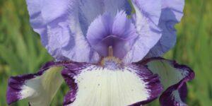 On Edge Tall Bearded Iris Garden Plant