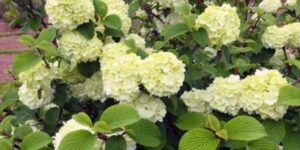 Opening Day Doublefile Viburnum Garden Plant