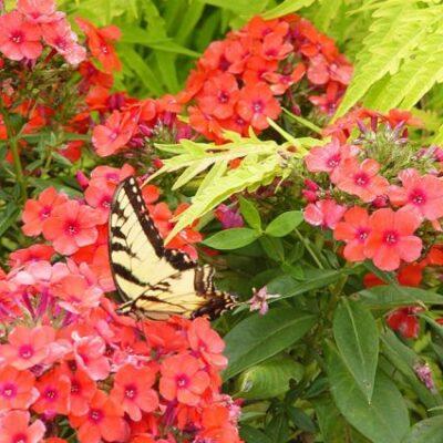 Orange Perfection Phlox Garden Plant