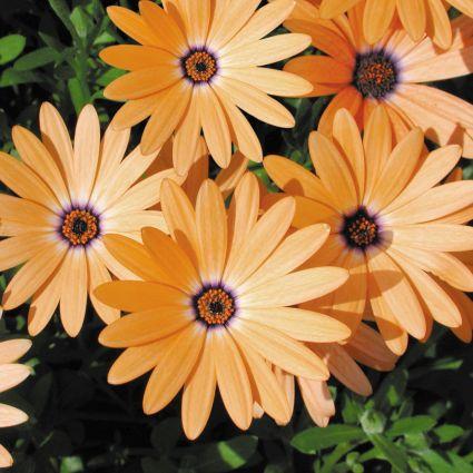 Orange SymphonyOsteospermum Garden Plant