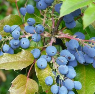 Oregon Grape Holly Garden Plant